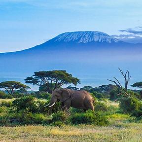 Elefanten, die in der Savanne spazieren gehen. Im Hintergrund kann man den Kilimanjaro sehen.