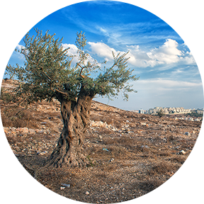 Bild eines Olivenbaums in Palästina Israel