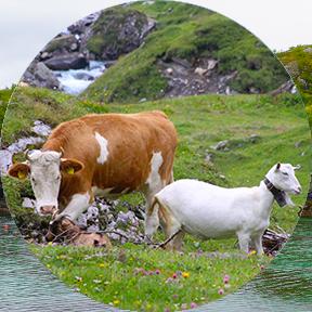 Eine braun-weiße Kuh und zwei weiß-braune Ziegen grasen auf einer blumigen Alpenwiese.